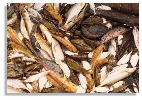 Captures provenant de la relève de nasses dans le delta central du Niger. Espèces présentes (la plupart des poissons sont en maturation) : Synodontis nigrita, Malapterurus electricus, Chrysichthys auratus, Petrocephalus bovei, Marcusenius senegalensis, Tilapia zillii, Schilbe mystus. © IRD/Vincent Benech.