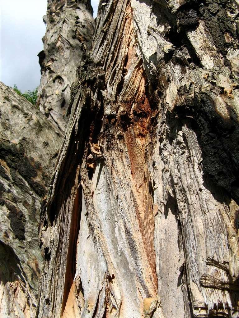Le tronc reconnaissable du chêne-liège. © Mauroguanandi, Flickr CC by 3.0