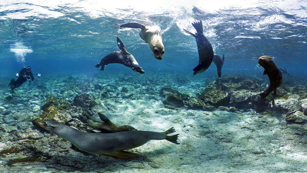 L'otarie des Galápagos, une espèce endémique des îles