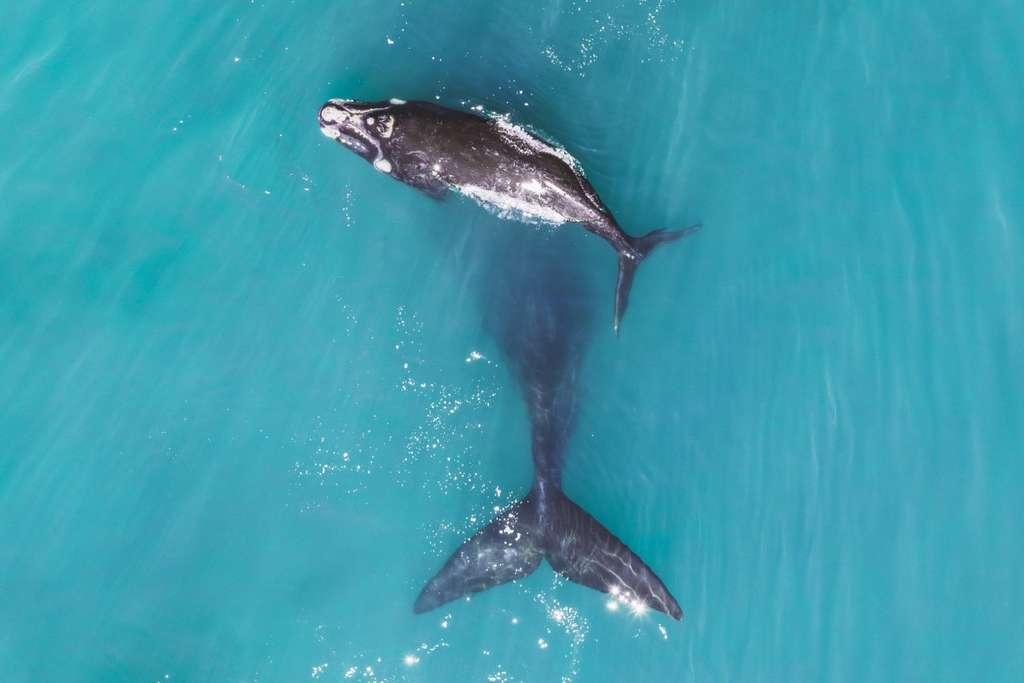 Le baleineau et sa maman, Afrique du Sud. © LukeMaximoBell, Dronestagram