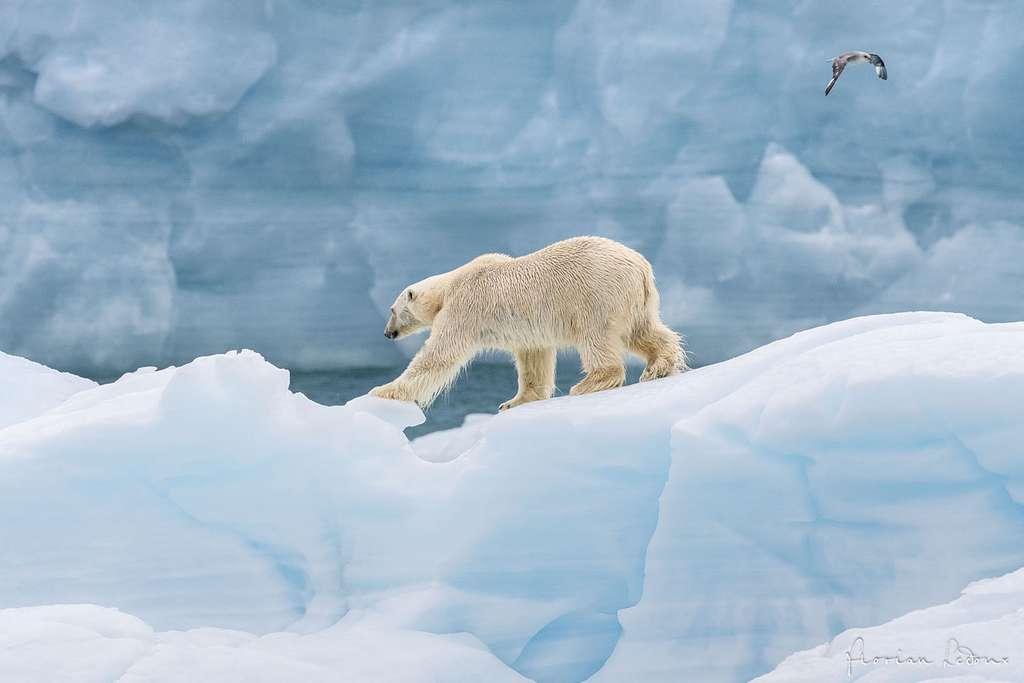 Majestueux, un ours polaire sur un iceberg devant le front de la calotte glaciaire Austfonna. © Florian Ledoux, tous droits réservés