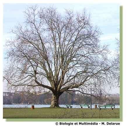 Figure 1 Arbre majestueux. La solidité de son tronc, de ses branches et de ses racines lui permet d'occuper un espace important dans le sol et l'atmosphère. Son feuillage et ses racines lui assurent sa nutrition et en hiver, la chute de ses feuilles lui permet de résister aux mauvaises conditions.