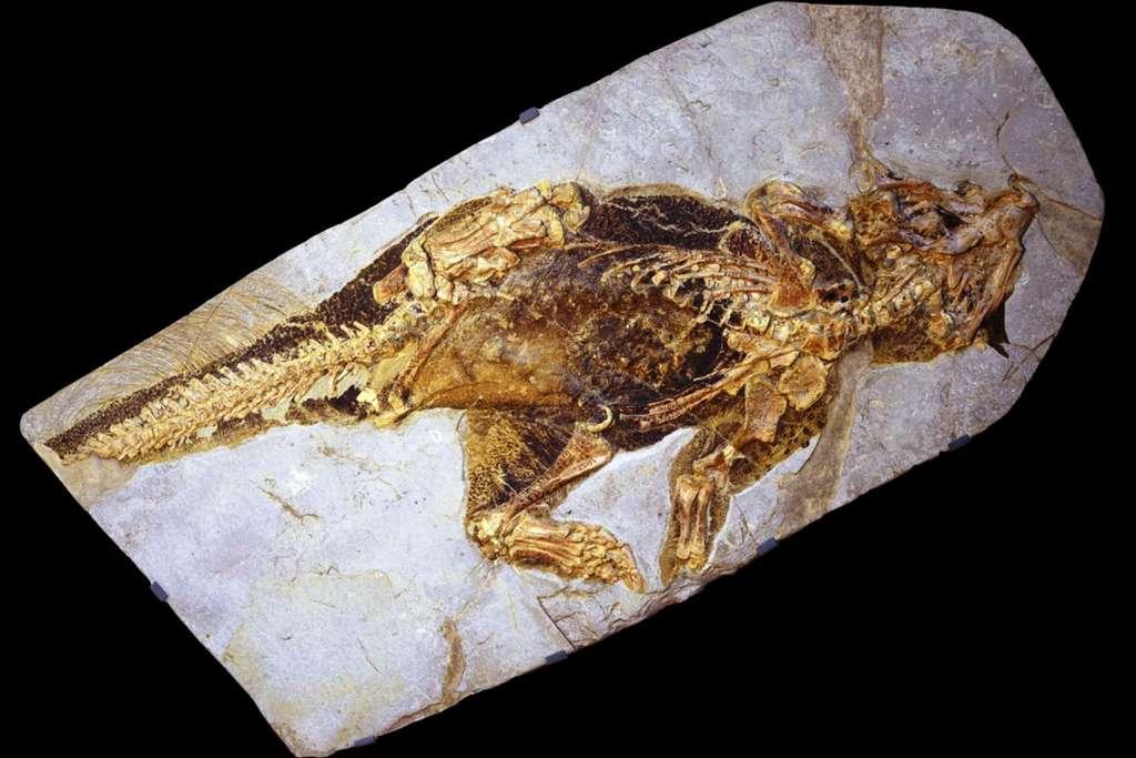 Le squelette de ce Psittacosaurus sp est complet et on peut même voir des empreintes de parties molles ainsi que des restes de pigmentation. © Jakob Vinther, University of Bristol, Bob Nicholls