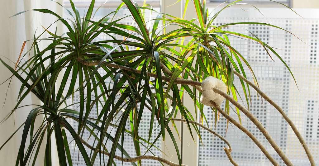 Que peuvent les plantes contre les produits toxiques présents dans nos maisons ? Ici, un dracaena. © Stéphanie Vacher, CC by-nc 2.0