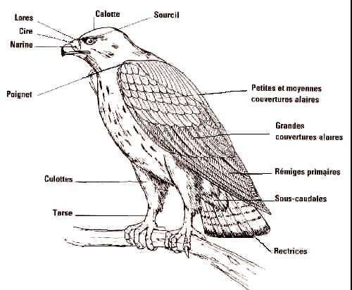 Anatomie externe des rapaces : schéma et vocabulaire. © Reproduction et utilisation interdites