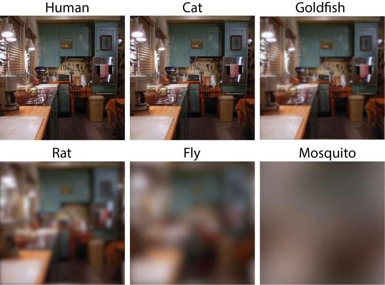 Les chercheurs de l'université de Duke ont utilisé un logiciel pour avoir une idée de ce que voient les animaux. Ici, en haut, de gauche à droite, une scène telle que vue par un humain, par un chat puis par un poisson rouge et en bas, toujours de gauche à droite, la même scène telle que vue par un rat, une mouche et un moustique. Les chercheurs soulignent toutefois que ces images ne tiennent pas compte de la façon dont le cerveau des animaux pourrait être capable de traiter les informations reçues par les yeux. © Eleanor Caves, université de Duke