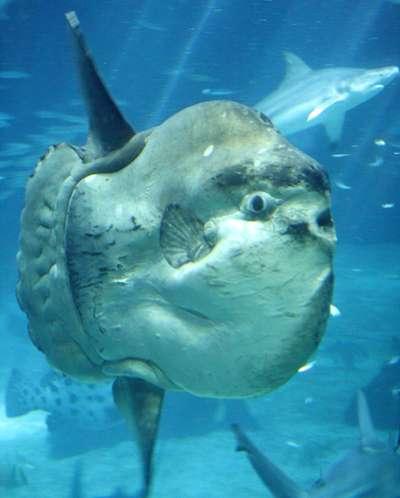 Les poissons-lunes figurent parmi les espèces animales capables d'hybridation après 40 millions d'années de séparation. © Brian Snelson, Wikimedia Commons, CC by-sa 2.0