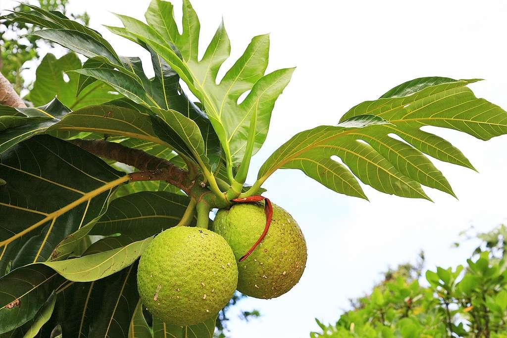 Le fruit de l'arbre à pain, ou uru, à Rimatara