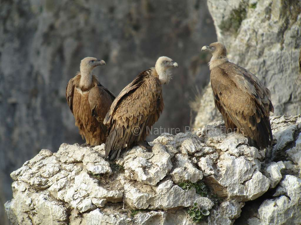 La structure sociale du vautour fauve se dessine dans le cadre d'une colonie. © C. Aussaguel, DR