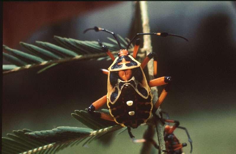 Punaise Pentatomidae