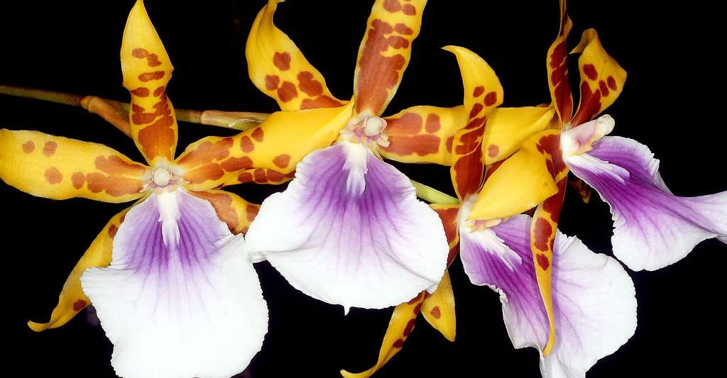 Miltonia × Castanea. © Orchi, CC by-sa 3.0