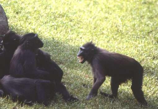La femelle de gauche apaise son opposant avec un claquement de lèvres. © Odile Petit - Reproduction et utilisation interdites