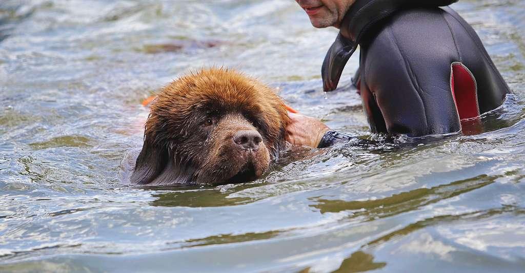 Le chien sauveteur dispose de facultés sensitives, olfactives et auditives plus développées que l'Homme. © Mariesacha, Fotolia