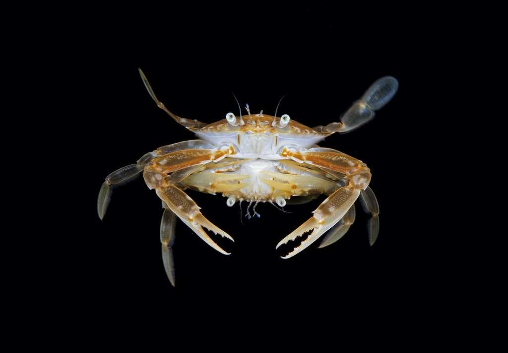 Accouplement du crabe. © Steven Kovacs, UWPG