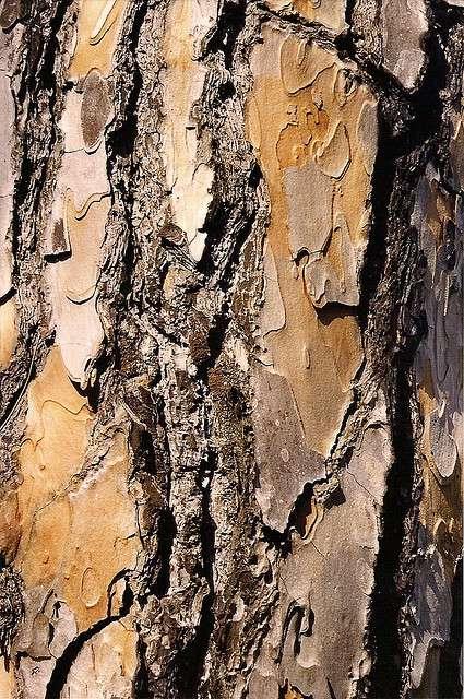 Le pin pignon, conifère de la famille des pinacées. © chemazgz, Flickr CC by nc-sa 2.0