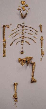 Restes de l'australopithèque Lucy. © DR