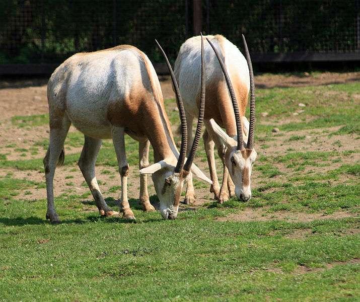 L'oryx algazelle n'existe plus à l'état sauvage. © Karelj, Wikipédia, DP