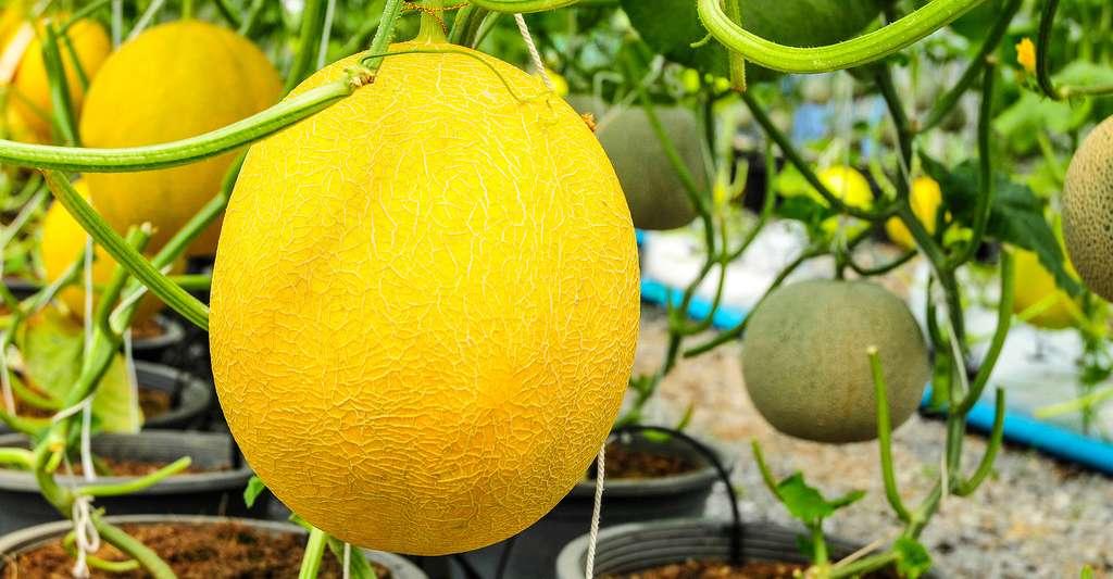 Melon d'eau dans une serre. © Wasu Watcharadachaphong, Shutterstock