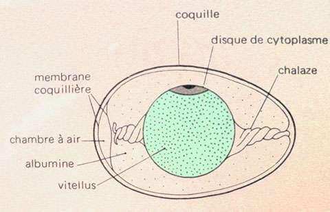 Schéma d'un œuf d'oiseau. © Reproduction et utilisation interdites