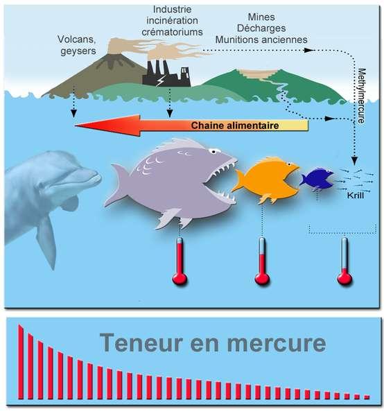 La bioaccumulation dans la chaîne alimentaire. Le mercure est émis en majorité par les centrales électriques au charbon, l'industrie, les mines, etc. Il finit dans les mers, où il se trouve sous forme de méthylmercure, très dangereux pour l'Homme. Les grands prédateurs au sommet de la chaîne alimentaire, comme les orques ou les requins, ont le taux de méthylmercure le plus important. © Lamiot, Wikipédia, cc by sa 3.0