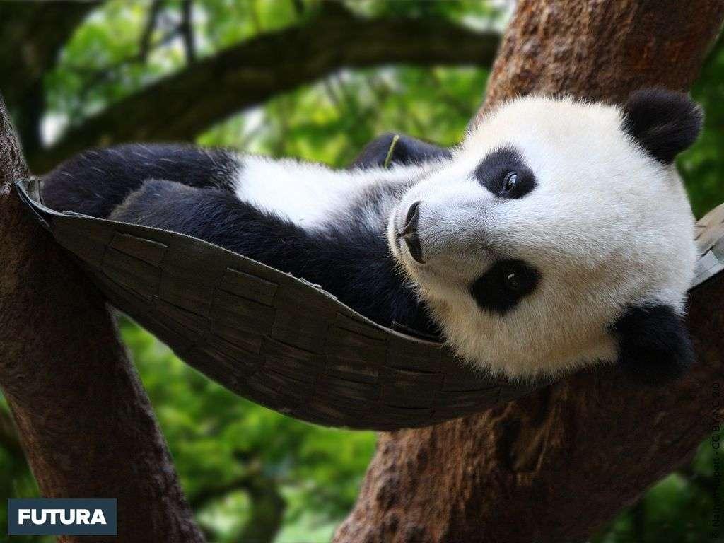 Bébé panda de la province du Sichuan vivant dans les forêts d'altitude