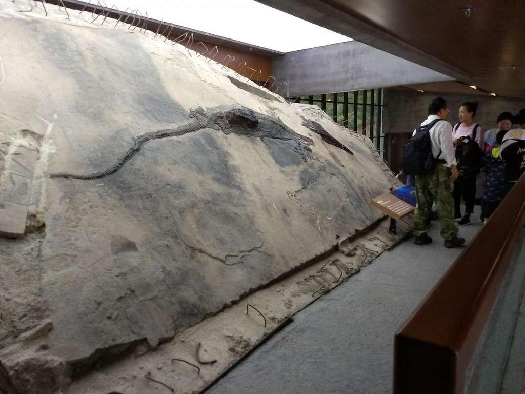 Cette image montre le spécimen d'ichtyosaure avec son contenu stomacal visible sous la forme d'un bloc qui sort de son corps. © Ryosuke Motani