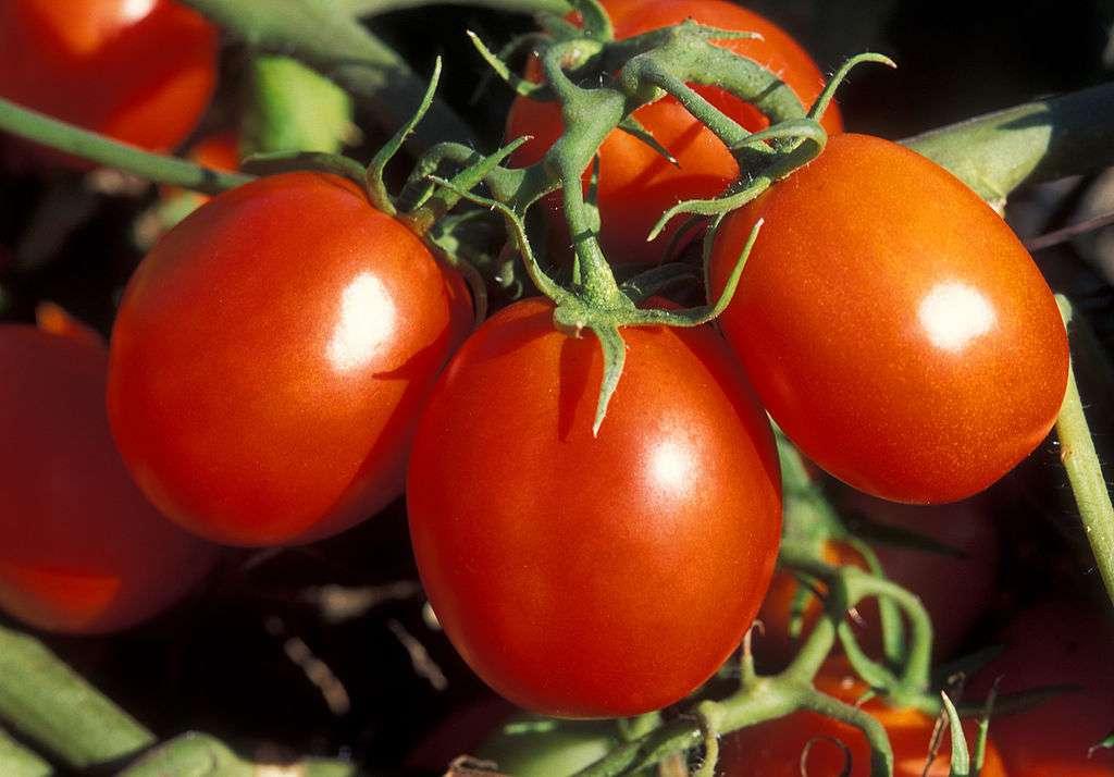 La tomate olivette est productive, notamment pour réaliser des coulis. © Penny Greb, USDA, ARS, DP