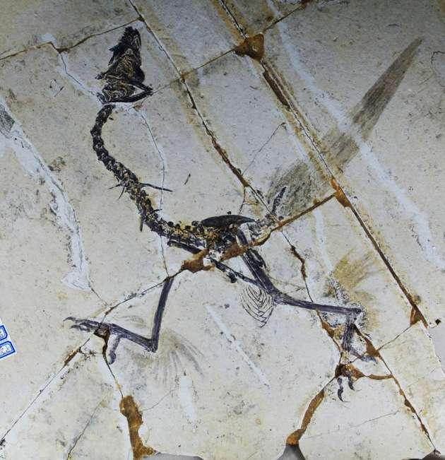 Ce fossile de Sapeornis, un des tout premiers oiseaux, a été exhumé en Chine. Ses membres antérieurs ne sont pas visibles. En revanche, des traces trahissent la présence de longues plumes autour des pattes arrière, voilà plus de 100 millions d'années. © Science, AAAS