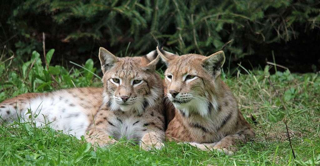 L'aire de répartition du lynx du Canada, Lynx canadensis, comprend principalement le Canada et l'Alaska. © Barni1, CCO
