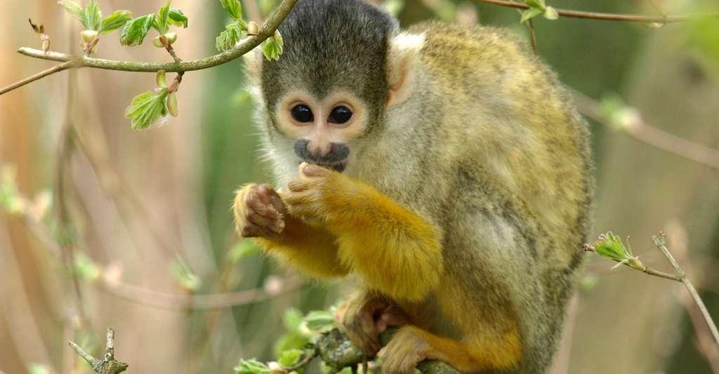 Des études ont déjà montré que les singes ont une aversion naturelle pour l'iniquité. Ils savent même faire preuve d'empathie, et ce, au-delà de la barrière de leur espèce. Des résultats confirmés par les chercheurs de l'université de Kyoto qui ont réalisé le même type d'expérience que celle avec les chiens, avec des singes capucins. © ariesa66, Pixabay, CC0 Public Domain