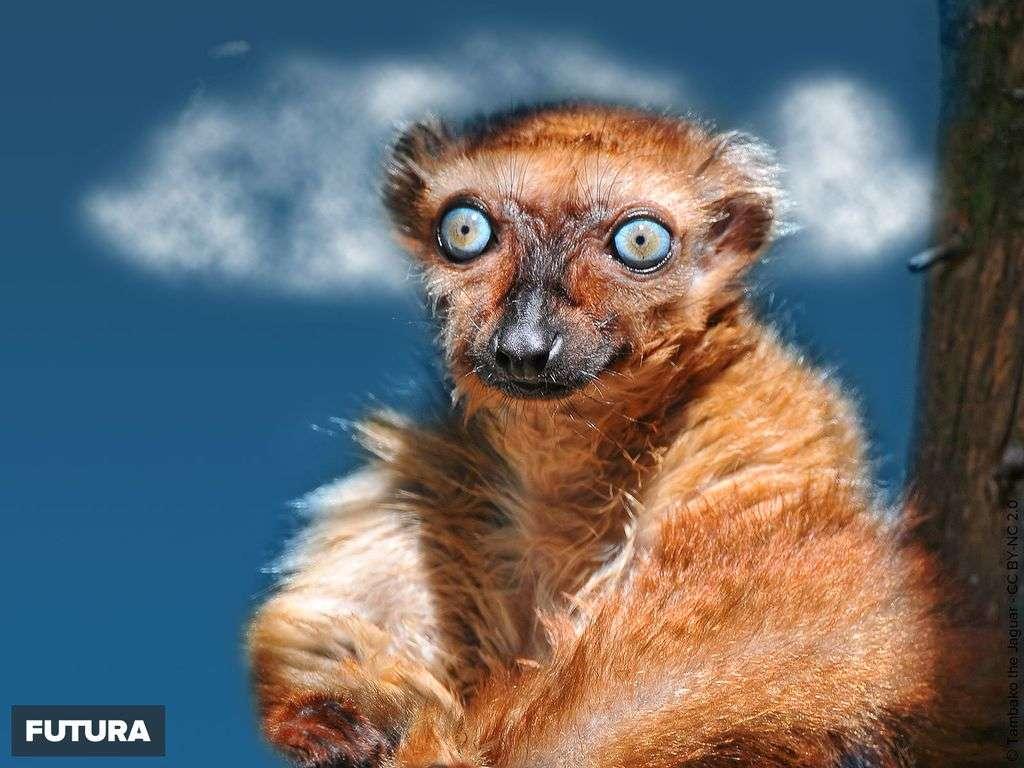 Lémur aux yeux turquoise - Eulemur macaco flavifrons