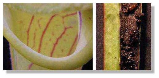 Figure 12. Urne de Saracenia. Bord lisse de l'urne (à gauche) et fond de l'urne rempli de cadavres d'insectes (à droite). © Biologie et Mulitmedia