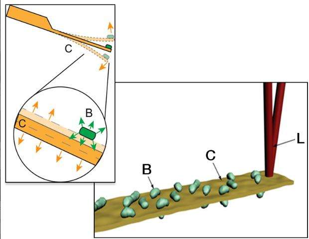 Ce schéma reprend le principe du fonctionnement de cette méthode de test de résistance bactérienne aux antibiotiques. La lamelle vibrante (C) oscille sous l'activité du métabolisme bactérien (B). Un rayon laser (L) envoyé sur la lamelle permet de détecter l'amplitude des mouvements et de définir ainsi l'état dans lequel se trouvent les microbes soumis à un antibiotique. © Sandor Kasas, Giovanni Longo