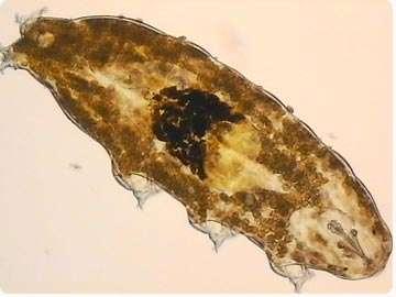 Le tardigrade Richtersius coronifer, qui peuple l'humidité des mousses, dans le sud de la Suède. © K. I. Jönsson