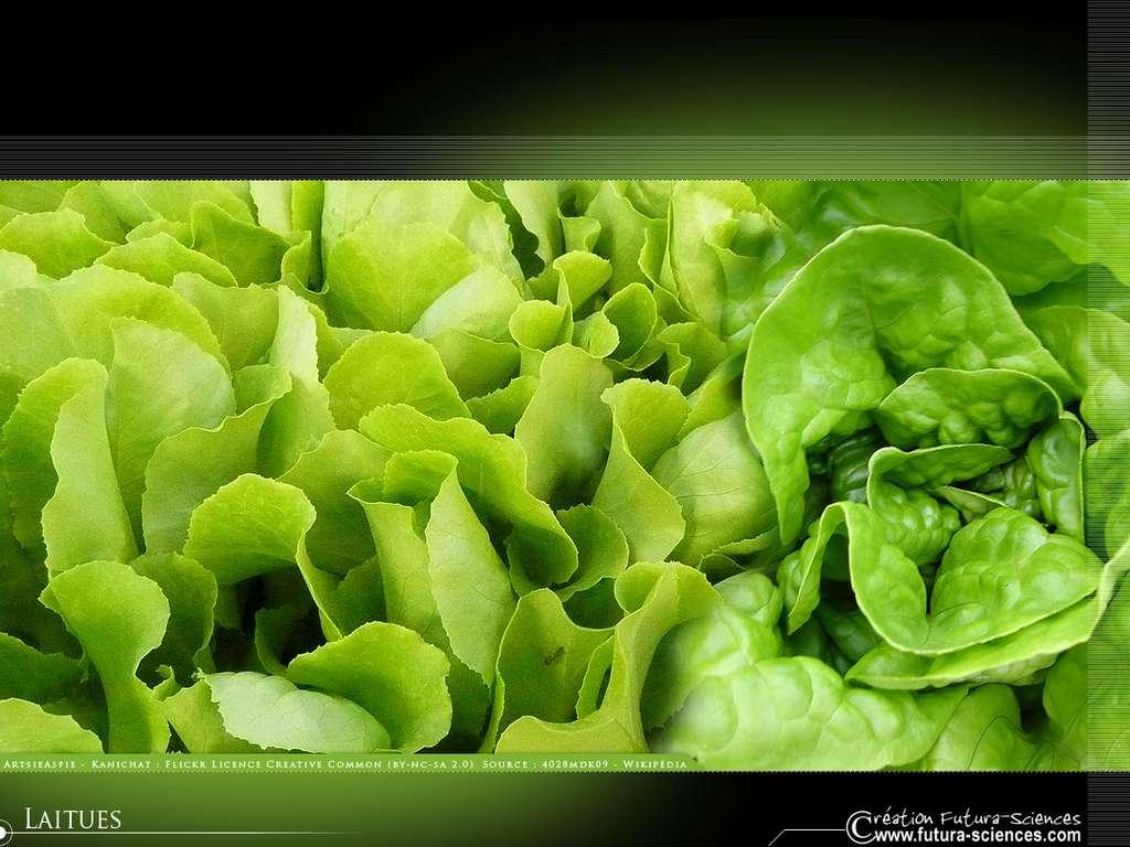 Salade : laitue