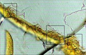 Vue microscopique d'une tranche du météorite Nakhla On y voit une cassure (en jaune) et des tunnels microscopiques (dans les cadres), qui sont similaires à ceux que l'on peut observer sur Terre, dans les roches où vivent des bactéries (Crédits : Oregon State University)