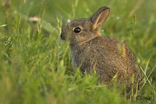 Le lapin possède une vision quasi circulaire. © Christian König, reproduction et utilisation interdites