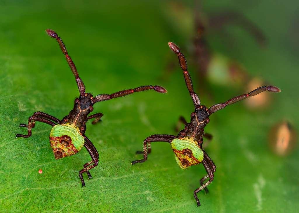 Les frères punaises de l'espèce Gonocerus acuteangulatus