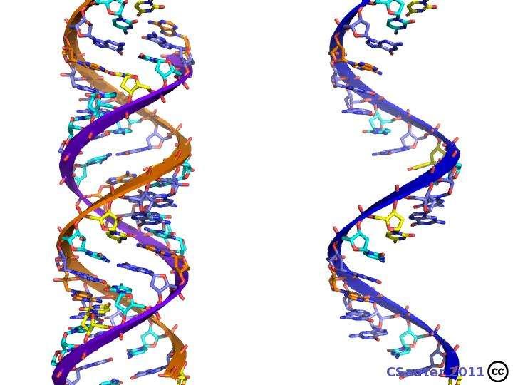 Un des deux brins de l'ADN, appelé le brin codant, est recopié par l'ARN polymérase sous forme d'ARN messager qui transmettra l'information du gène à la machinerie de synthèse protéique. © Claude Sauter, CC