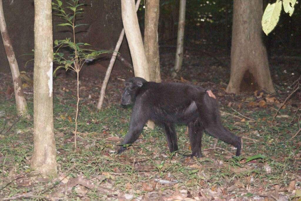 Macaque nègre en milieu naturel. © Sakurai Midori, GNU FDL Version 1.2