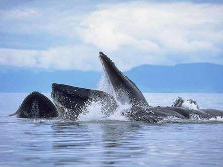 Une firme de négoce a été spécialement créée pour écouler les stocks de viande de baleines utilisées dans le cadre des programmes scientifiques nippons...
