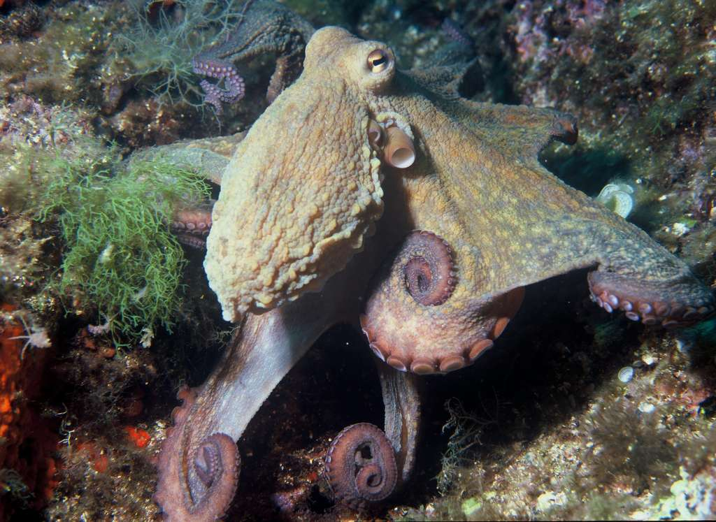 Octopus vulgaris. © Albert Kok, domaine public