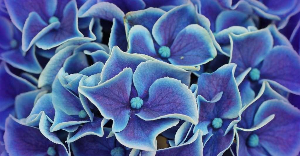 Lorsqu'elles poussent sur un sol acide, les fleurs de l'hortensia deviennent bleues. © cocoparisienne, Pixabay, CC0 Creative Commons