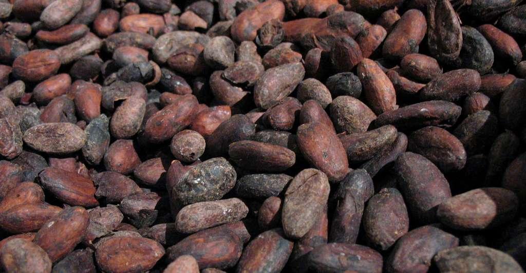 Les fèves de cacao sont à l'origine du chocolat. © SuperManu, Wikimedia Commons, CC by-sa 2.5