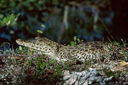 Le Crocodile de Cuba vit-il ses derniers jours sur la planète ? Crédit UICN