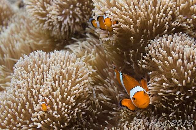 Les récifs coralliens pourraient disparaître en 2050 si les températures continuent à augmenter au rythme actuel. © Wim Hertog, Flickr, CC by nc nd 2.0