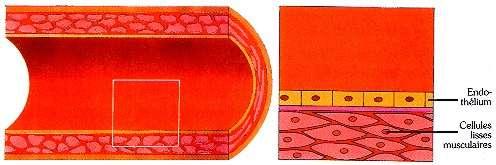 Coupe d'une artère normale. © prevention.ch