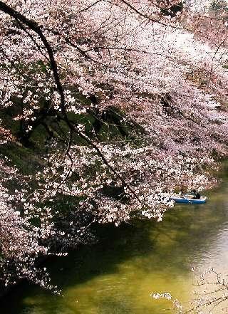 Le Spectacle le plus photographié au Japon : Hanami, dans le Jardin du Parc Impérial de Tokyo (Kitanomaru). Photo : Ambassade du Japon