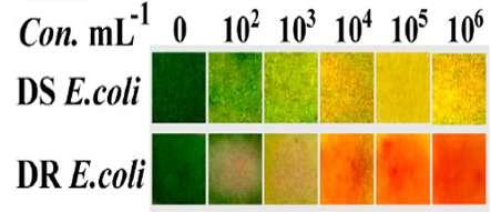 La ligne du haut (Con. mL-1) renseigne sur la concentration bactérienne. Au milieu, DS E. coli montre la réaction du pansement pour une bactérie sensible aux antibiotiques. En bas, DR E. coli montre la réaction du pansement pour une bactérie résistante aux antibiotiques. © Sun et al. ACS Central Science, 2020