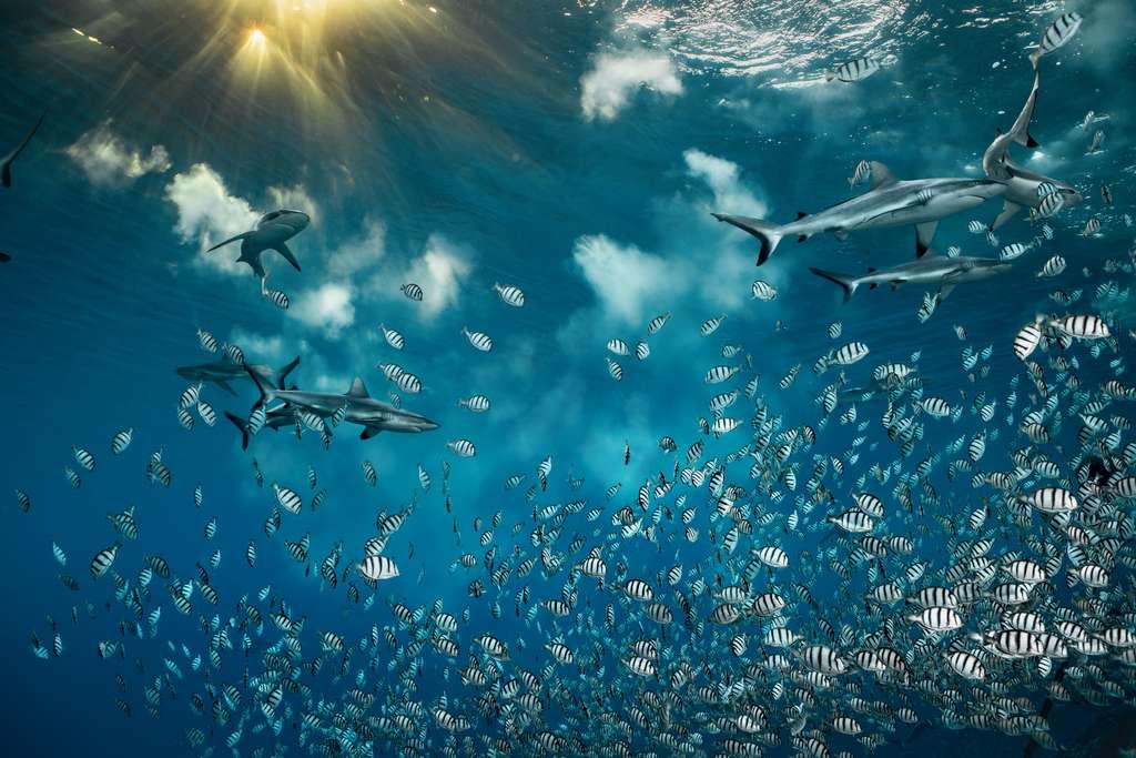 À chaque nouvelle lune, au coucher du soleil, des milliers de poissons-chirurgiens bagnards se rassemblent pour frayer dans ce chenal étroit qui relie la lagune de l'atoll de Fakarava, en Polynésie française, à l'océan Pacifique Sud. Ils risquent de se faire dévorer par les requins pour permettre à leurs œufs de se faire emporter au loin. © Laurent Ballesta, Wildlife Photographer of the Year 2020